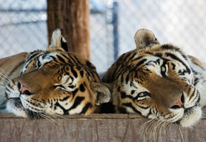 Aspen and Willow at Shambala Preserve | Photo courtesy of The Roar Foundation, Facebook